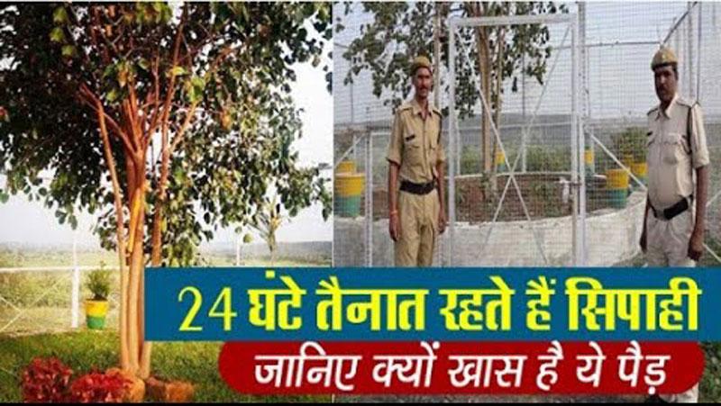 एक अनोखा पेड़, जिसकी 24 घंटे सुरक्षा करती है पुलिस, सालाना खर्च होते है 15 लाख रुपये