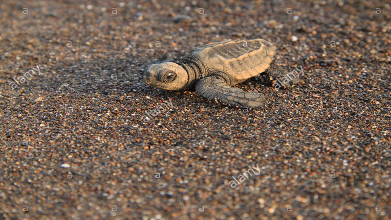 20 साल बाद फिर वर्सोवा बीच पर दिखी कछुओं की यह प्रजाति..देखिये...