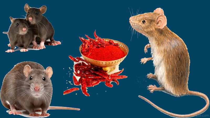 घर में चूहों ने मचा रखा है आतंक तो करें ये साधारण से उपाय, घर छोड़कर भाग जायेंगे चूहे...जानिए